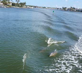 Dolphins swimming alongside the boat