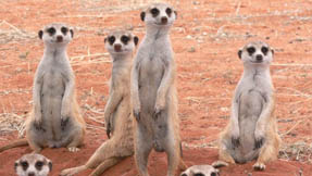 Some meerkats waiting around on the dunes