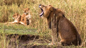 A lion yawning while his family look on