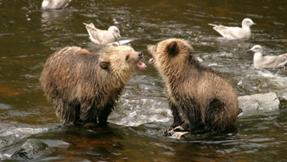 Brown bear cubs playing in stream at Knight Inlet Lodge